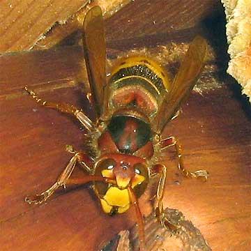 unterschiede zwischen bienen wespen und hornissen. Black Bedroom Furniture Sets. Home Design Ideas