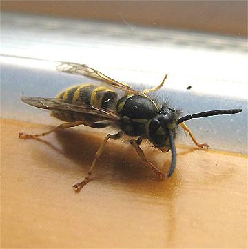 Bienen Und Wespen : unterschiede zwischen bienen wespen und hornissen ~ Whattoseeinmadrid.com Haus und Dekorationen